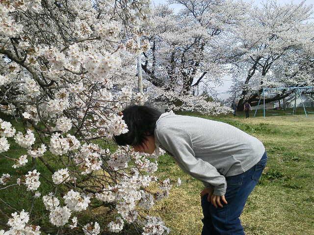 日本一の学校桜