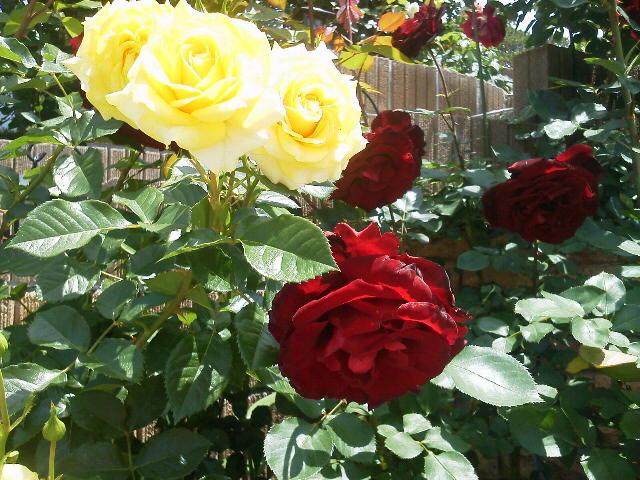 キャサリンのオープンガーデンの薔薇